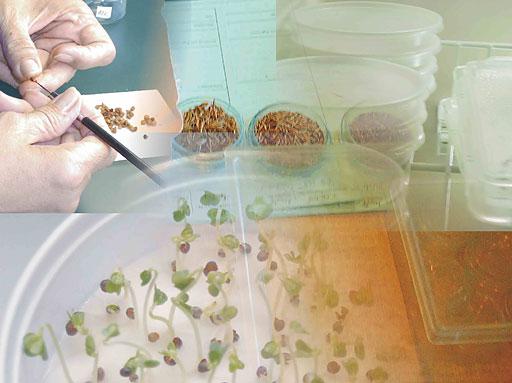 Saatgutkontrolle, Keimversuche, Tetrazoliumtest, Bestimmung (Foto: U. Baum, 2006)