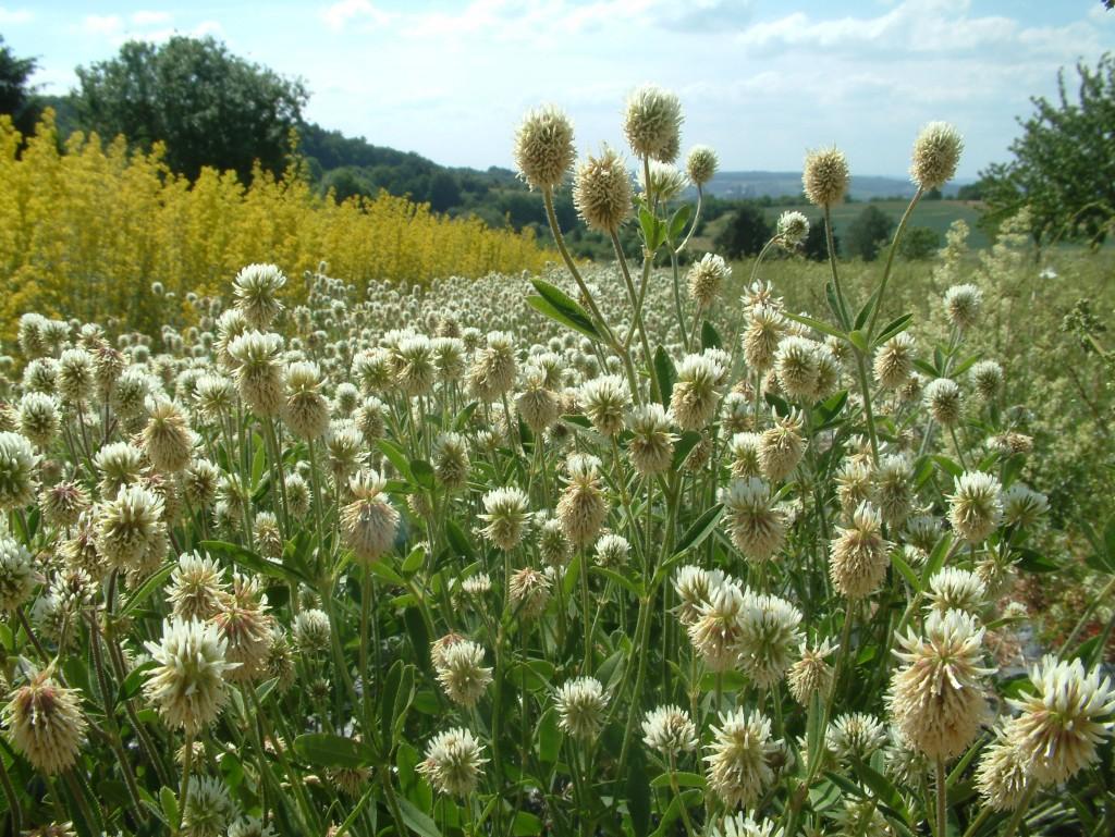 Anbau von Trifolium montanum